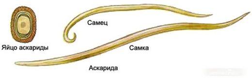 паразиты в организме человека википедия