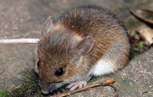 Мыши переносчики ГЛПС