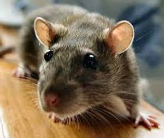 Мыши являются переносчиками многих заболеваний